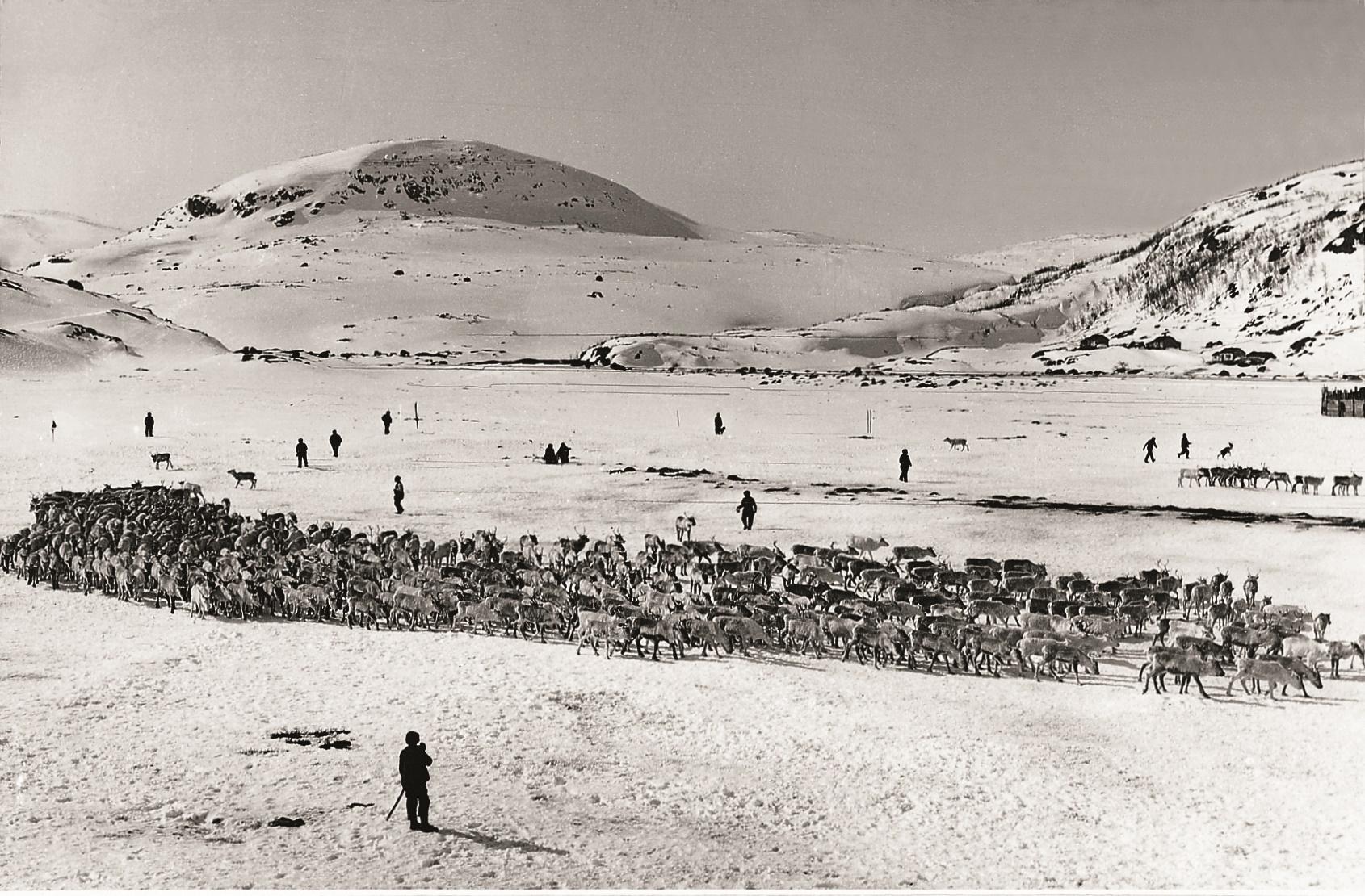 Skiljing av reinsflokk i Øyna, Hardangervidda, kring 1913
