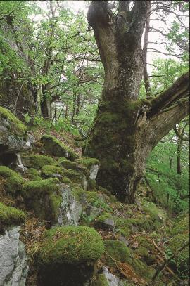 Gammal eik i eikeskogen ved Skeianeset