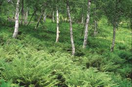Fjellbjørkeskoge