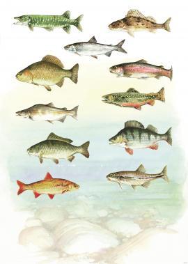 11 av 18 artar fersmvassfisk i Hordaland er utsette