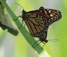 Monarksommarfuglen