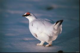 Fjellrype; hann i vinterdrakt.