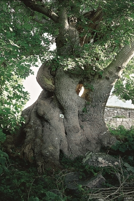 The Ancient Ash Tree