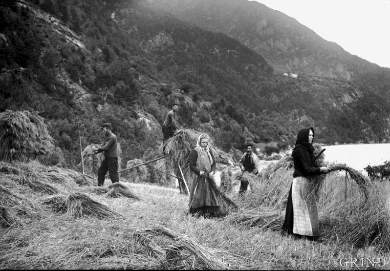 Binding up the corn at Vallavik in Ullvik