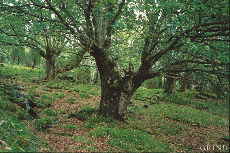 Eikelund,Vannes i Etne. Eika, som egentlig hører hjemme på sydligere breddegrader, var for noen tusenår siden mer utbredt. Kaldere klima og hard hogst kan forklare tilbakegangen. Men fortsatt gjør den seg gjeldende i skogsliene innover fjordene. (Svein Nord)