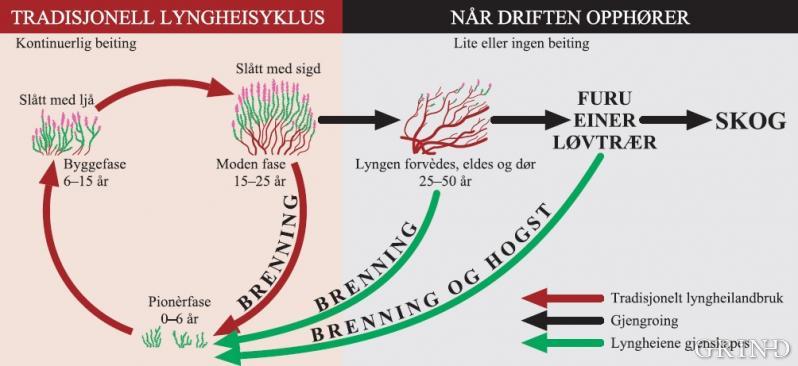 Sykluser i lyngheia