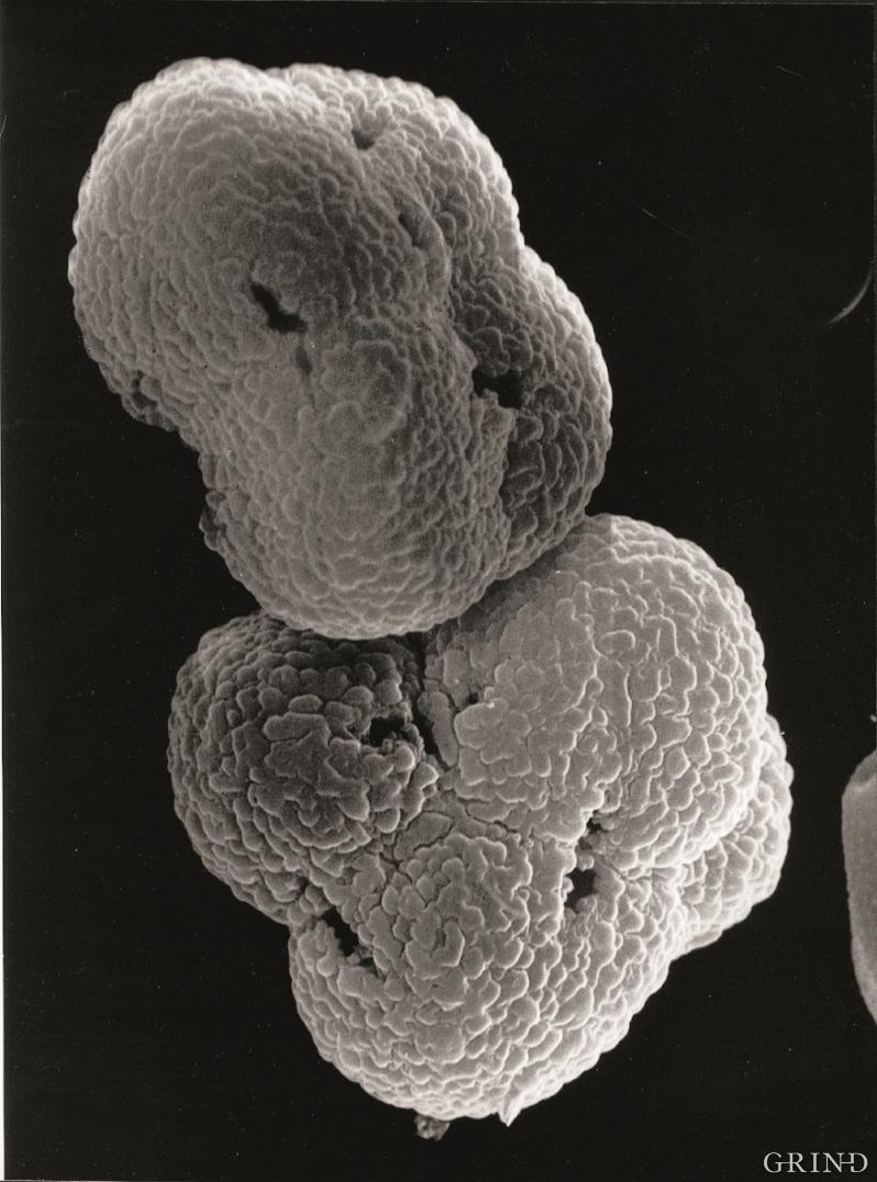 Pollenkorn av røsslyng