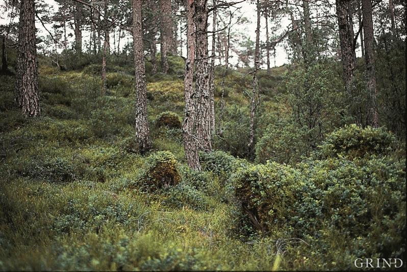 Mange år etter plukkhogsten kan man fortsatt se sporene etter den gamle skogen i form av tilgrodde stubber