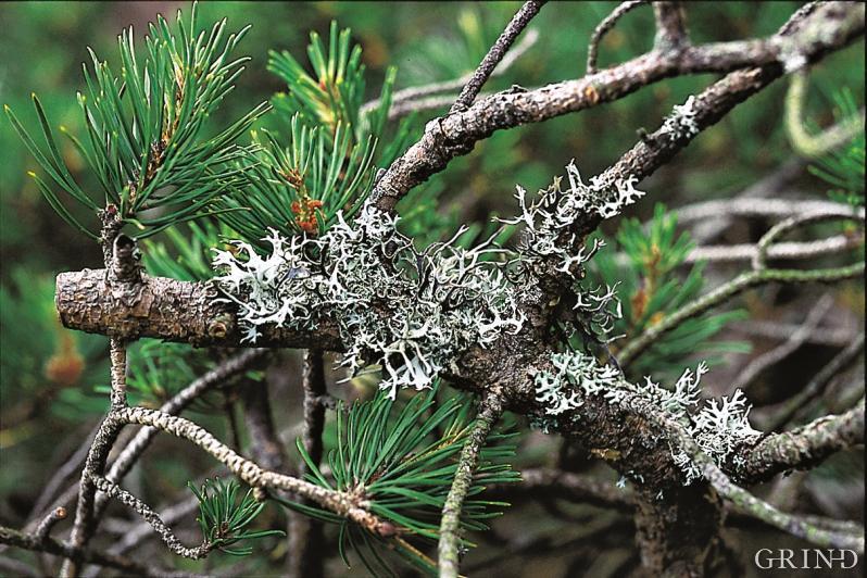 To av de vanligste artene i landet er kvistlav og elghornslav