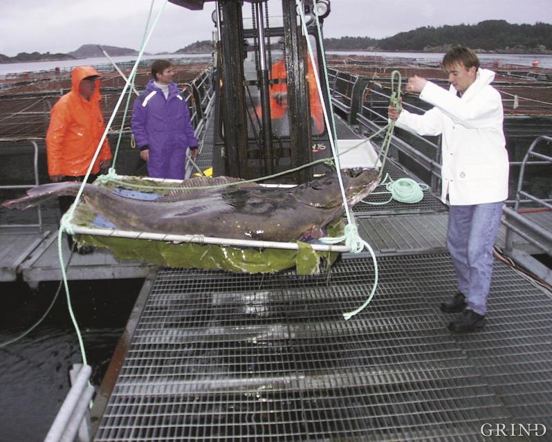 En velvoksen kveite donert til Havbruksstasjonen i Austevoll, der den gikk inn i tjeneste som stamfisk.