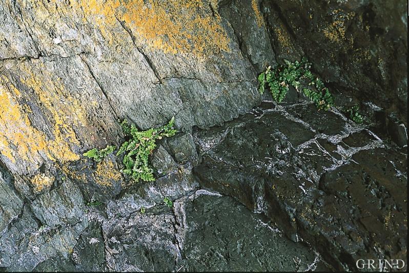 Frostvar og sjelden: havburkne