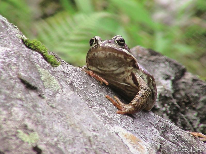 Frosken, som er det mest utbreidde amfibiet i Hordaland, kan ein jamvel treffa på høgt til fjells