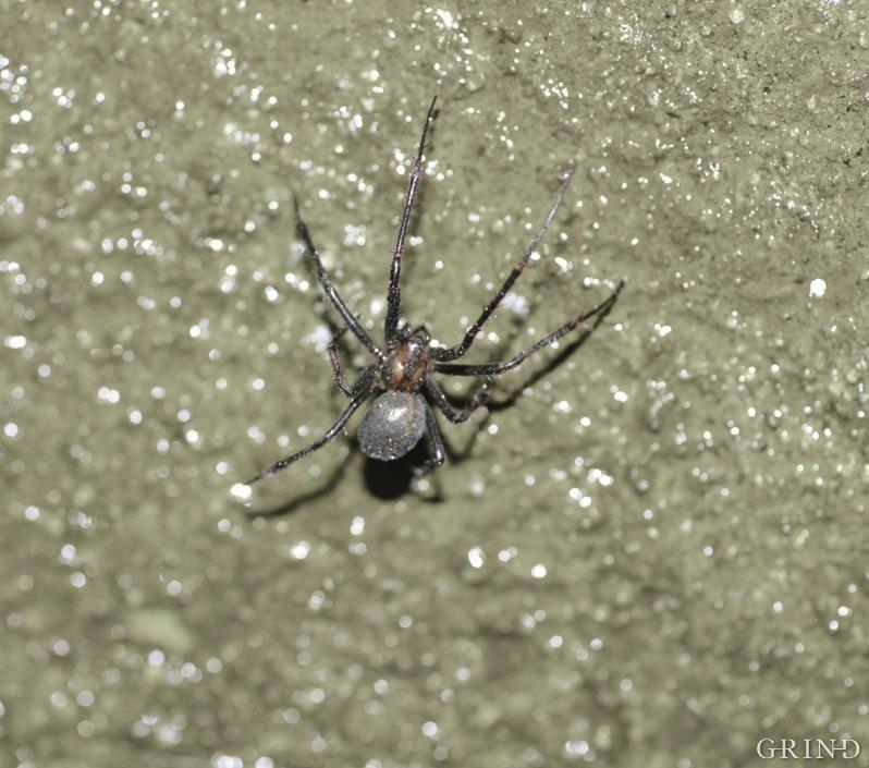 Kjelleredderkopp