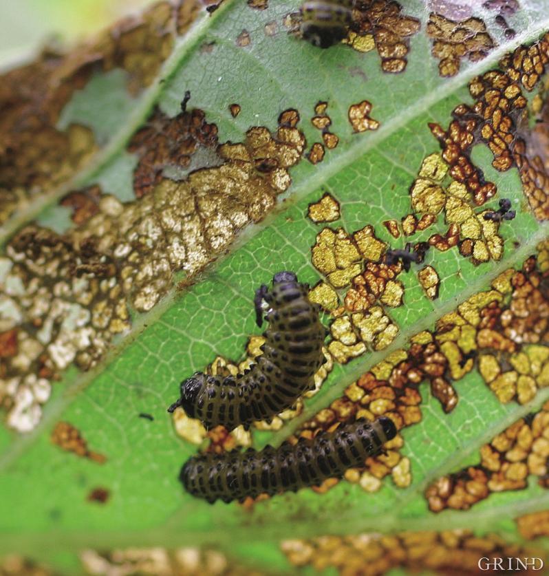Larvar av stripa orebladbille