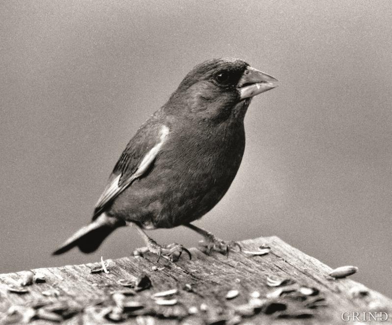 Grønfinken