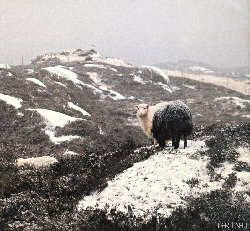 Utegangersauer på vinterbeite